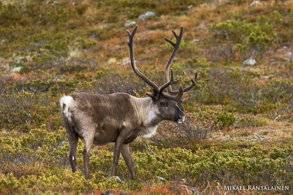 Reindeer at Pallastunturi.