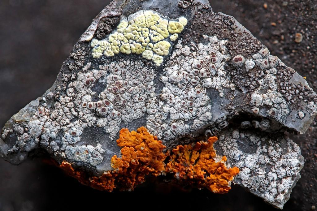 Lichens from Saana, Lapland: Rhizocarpon, Bellemerea, and Xanthoria (photo H. Eskelinen).